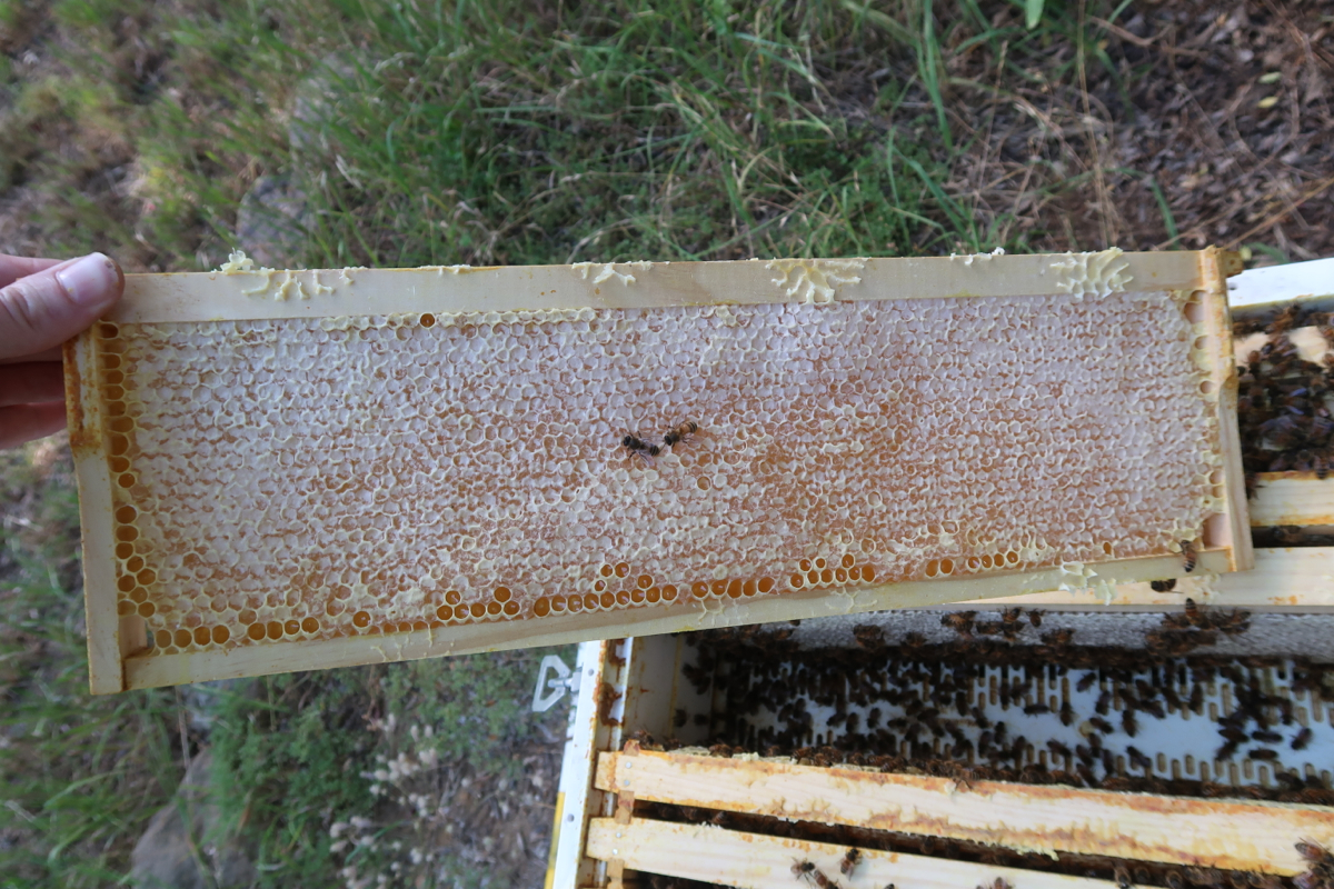 Example of capped honey in frames previously used for brood ...